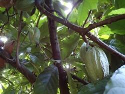 Gwadelupa, muzeum kawy, poznamy tutaj cały proces uprawy czarnego złota foto:  Kasia