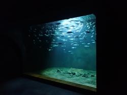 Sardynki, szprotki.... rybki które są w ciągłym ruchu foto: Kasia Koj