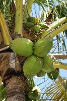 Karaiby szantowo-rumowe   foto: Mateusz Ochała