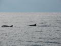 Delfiny  foto: Monika Rodzeń