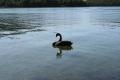 czarny łabądź  foto: Kasia