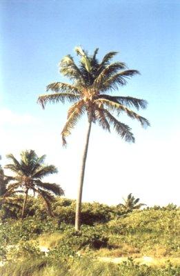Samotna palma foto: Peter