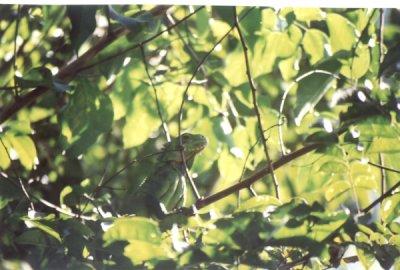 Kameleon foto: Peter